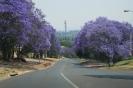 "Pretoria, the city of Jacarandas! (the trees with the beautiful purple flowers) / Η Πρετόρια είναι γνωστή και ως ""η πόλη των Τζακαράντας"" (τα δέντρα με το χαρακτηριστικό μοβ χρώμα)"
