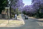 The purple color of the Jacarandas make Pretoria unique this season / Η πόλη (Πρετόρια) έχει ένα μοναδικό χρώμα αυτήν την εποχή, χάρη στις Τζακαράντες (το μοβ δέντρο)