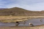Κατεβαίνοντας, το τοπίο γινόταν λίγο πιο ήμερο και μερικές εκατοντάδες από λάμα κι αλπάκα βοσκούσαν ανέμελα / Just a bit lower, the landscape wasn't that wild anymore and some hundreds of llamas and alpacas were eating their grass peacefully