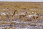 """Vicuña: Untamed """"cousins"""" of the llamas- Βικούνια: Άγρια ξαδερφάκια των λάμα"""