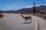 A shy llama / Ένα ντροπαλό λάμα