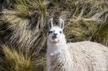 Llamas and alpacas...as cute as it gets! / Λάμα κι αλπάκα...πιο γλυκούλια δε γίνεται!