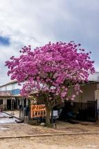 A blooming tree in Vallegrande / Ένα ολάνθιστο δέντρο στο Vallegrande